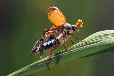 Common Cockchafer (Melolontha melolontha) beetle, Netherlands  -  Jef Meul/ NIS