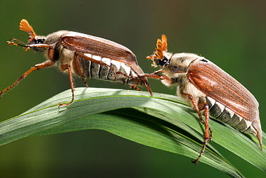 Common Cockchafer (Melolontha melolontha) beetle pair ready to mate, Netherlands  -  Jef Meul/ NIS