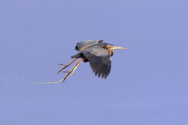 Purple Heron (Ardea purpurea) defecating while flying, South Holland, Netherlands  -  Lesley van Loo/ NiS