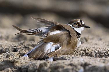 Little Ringed Plover (Charadrius dubius) in broken wing display, Netherlands  -  Lesley van Loo/ NiS