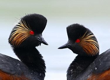 Eared Grebe (Podiceps nigricollis) pair, Noord-Brabant, Netherlands  -  Lesley van Loo/ NiS