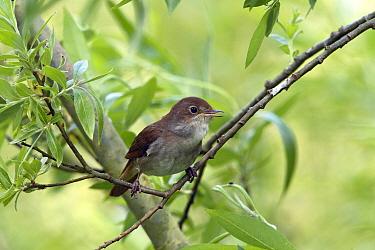 Thrush Nightingale (Luscinia luscinia), Gelderland, Netherlands  -  Lesley van Loo/ NiS