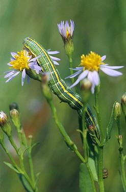 Star-wort (Cucullia asteris) caterpillar on Sea Aster (Aster tripolium), Zuid Beveland, Zeeland, Netherlands  -  Jan Vink/ NiS