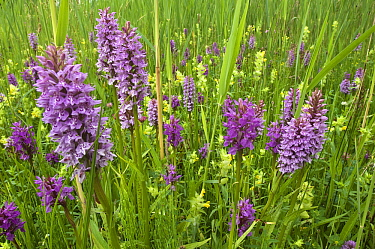 Broad-leaved Marsh Orchid (Dactylorhiza majalis) flowering, Zeeland, Netherlands  -  Jan Vink/ NiS