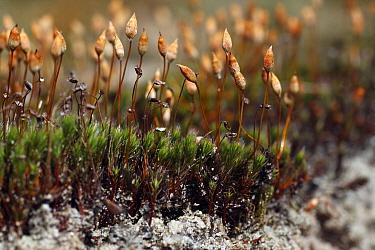 Polytrichum Moss (Polytrichum piliferum) sporophytes, Overijssel, Netherlands  -  Karin Rothman/ NiS