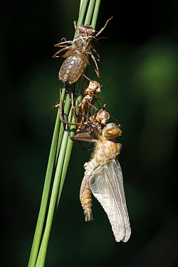 Downy Emerald (Cordulia aenea) dragonfly freshly moulted, Overijssel, Netherlands  -  Karin Rothman/ NiS