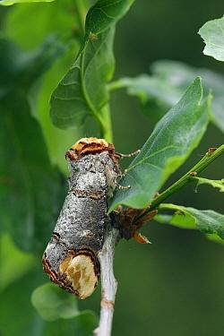 Buff-tip (Phalera bucephala) moth on an Englisch Oak (Quercus robur), Overijssel, Netherlands  -  Karin Rothman/ NiS