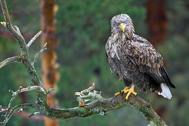 White-tailed Eagle (Haliaeetus albicilla), Bialowieza Primaeval Forest, Poland  -  Grzegorz Lesniewski/ NIS