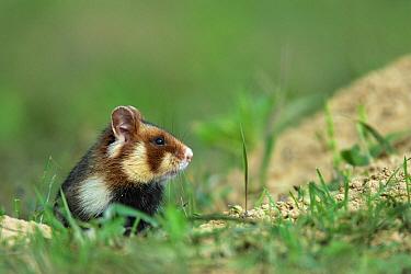 Common Hamster (Cricetus cricetus) leaving its burrow, Roztocze, Poland  -  Grzegorz Lesniewski/ NIS