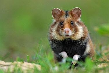Common Hamster (Cricetus cricetus), Poland  -  Grzegorz Lesniewski/ NIS