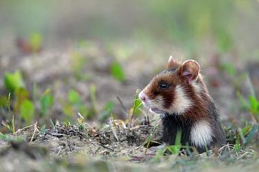 Common Hamster (Cricetus cricetus) emerging from burrow, Roztocze, Poland  -  Grzegorz Lesniewski/ NIS