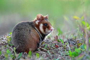 Common Hamster (Cricetus cricetus), Roztocze, Poland  -  Grzegorz Lesniewski/ NIS