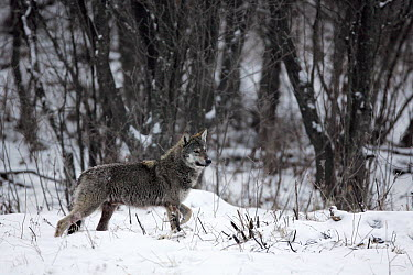 Gray Wolf (Canis lupus) walking through snow, Carpathian Mountains, Poland  -  Grzegorz Lesniewski/ NIS