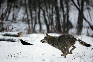 Gray Wolf (Canis lupus) running through snow, Carpathian Mountains, Poland  -  Grzegorz Lesniewski/ NIS