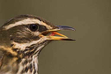 Redwing (Turdus iliacus) calling, Friesland, Netherlands  -  Marcel van Kammen/ NiS