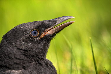 Carrion Crow (Corvus corone) chick calling for food, Friesland, Netherlands  -  Marcel van Kammen/ NiS