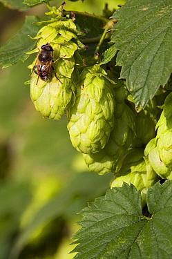 Hops (Humulus lupulus) female cones, Zwaagwesteinde, Friesland, Netherlands  -  Marcel van Kammen/ NiS
