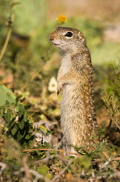 Thirteen-lined Ground Squirrel (Spermophilus tridecemlineatus) standing upright, Texas  -  Marcel van Kammen/ NiS