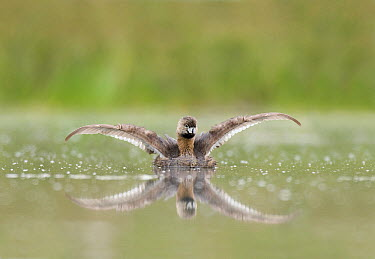 Least Grebe (Tachybaptus dominicus) stretching its wings, Texas  -  Marcel van Kammen/ NiS