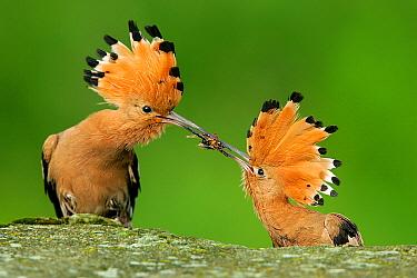 Eurasian Hoopoe (Upupa epops) pair in courtship, male passing female a hornet, Biebrza, Poland  -  Grzegorz Lesniewski/ NIS