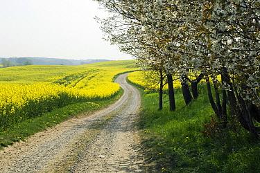 Oil Seed Rape (Brassica napus) and Blackthorn (Prunus spinosa) lining dirt road, Germany  -  Willi Rolfes/ NIS