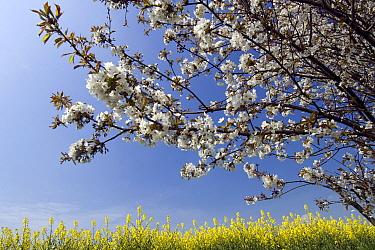 Blackthorn (Prunus spinosa) and Oil Seed Rape (Brassica napus), Germany  -  Willi Rolfes/ NIS