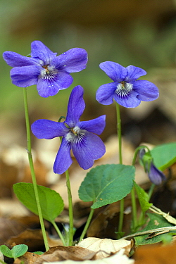 Forest-violet (Viola sylvestris) flowers, Germany  -  Willi Rolfes/ NIS