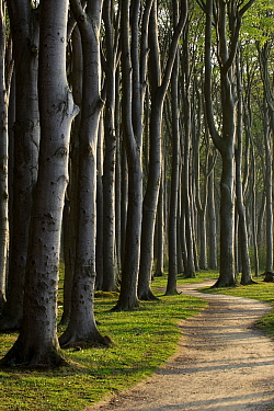European Beech (Fagus sylvatica) lining path, Nienhagen, Germany  -  Willi Rolfes/ NIS