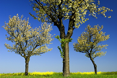 Sweet Cherry (Prunus avium) trees blossoming at the edge of Oil Seed Rape (Brassica napus) field, Nienhagen, Germany  -  Willi Rolfes/ NIS