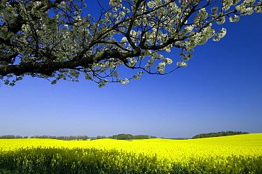 Sweet Cherry (Prunus avium) tree blossoming at the edge of Oil Seed Rape (Brassica napus) field, Nienhagen, Germany  -  Willi Rolfes/ NIS