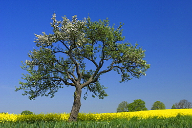 Oil Seed Rape (Brassica napus) and blossoming tree, Germany  -  Willi Rolfes/ NIS