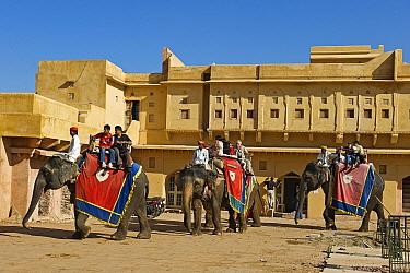 Asian Elephant (Elephas maximus) group carrying tourists at the amber palace, Jaipur, Rajasthan, India  -  Winfried Wisniewski
