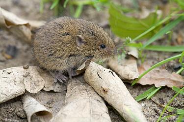 Field Vole (Microtus agrestis), De Meinweg National Park, Limburg, Netherlands  -  Bert Pijs/ NIS