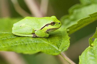 European Tree Frog (Hyla arborea) on Shrubby Blackberry (Rubus fruticosus), Netherlands  -  Bert Pijs/ NIS