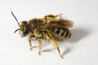 Mining Bee (Andrena hattorfiana), Gulpen, Limburg, Netherlands  -  Bert Pijs/ NIS