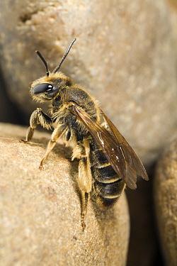 Mining Bee (Andrena hattorfiana) on stone, Gulpen, Limburg, Netherlands  -  Bert Pijs/ NIS
