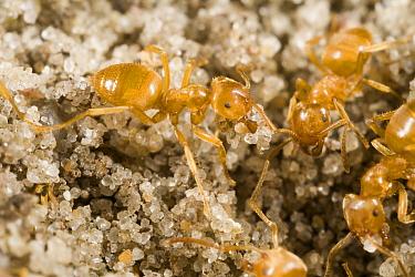 Yellow Turf Ant (Lasius flavus) workers, Den Helder, Noord-Holland, Netherlands  -  Bert Pijs/ NIS