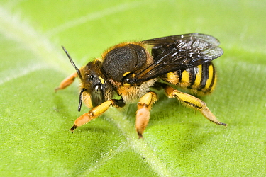 Wool Carder Bee (Anthidium manicatum) female, Den Helder, Noord-Holland, Netherlands  -  Bert Pijs/ NIS