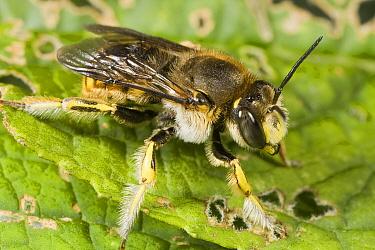 Wool Carder Bee (Anthidium manicatum) male, Den Helder, Noord-Holland, Netherlands  -  Bert Pijs/ NIS