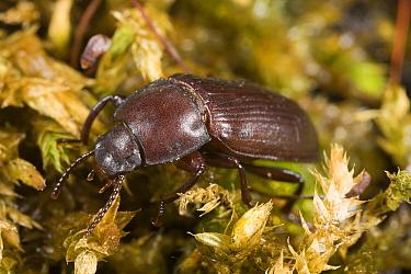 Yellow Mealworm (Tenebrio molitor) beetle, Den Helder, Noord-Holland, Netherlands  -  Bert Pijs/ NIS