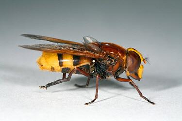 Hornet Mimic Hoverfly (Volucella zonaria) female, Den Helder, Noord-Holland, Netherlands  -  Bert Pijs/ NIS