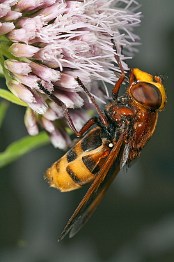 Hornet Mimic Hoverfly (Volucella zonaria) female on Hemp Agrimony (Eupatorium cannabinum), Den Helder, Noord-Holland, Netherlands  -  Bert Pijs/ NIS