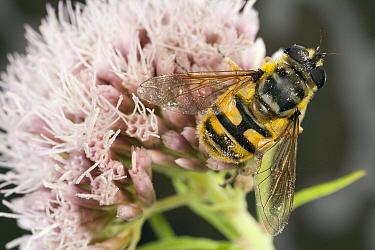 Hoverfly (Myathropa florea) female on Hemp Agrimony (Eupatorium cannabinum), Den Helder, Noord-Holland, Netherlands  -  Bert Pijs/ NIS