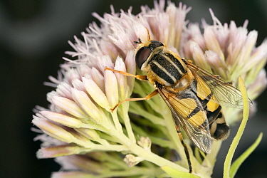 Hoverfly (Helophilus trivittatus) female on Hemp Agrimony (Eupatorium cannabinum), Den Helder, Noord-Holland, Netherlands  -  Bert Pijs/ NIS