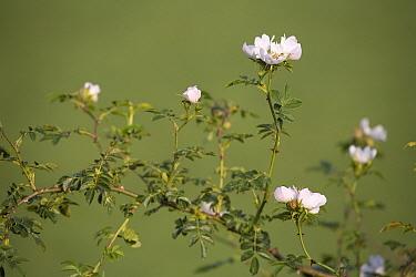 Dog Rose (Rosa canina) flowering, Gulpen, Limburg, Netherlands  -  Bert Pijs/ NIS