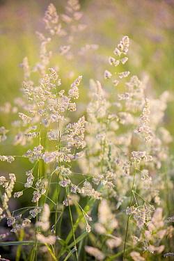 Cocksfoot Grass (Dactylis glomerata) flowering, Gulpen, Limburg, Netherlands  -  Bert Pijs/ NIS