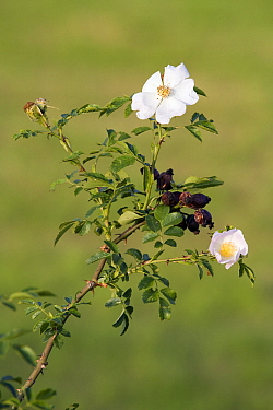 Dog Rose (Rosa canina) flowering, Limburg, Netherlands  -  Bert Pijs/ NIS