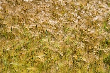 Two-rowed Barley (Hordeum vulgare) field, Limburg, Netherlands  -  Bert Pijs/ NIS