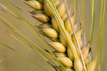 Two-rowed Barley (Hordeum vulgare) seed pod, Gulpen, Limburg, Netherlands  -  Bert Pijs/ NIS