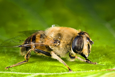 Drone Fly (Eristalis tenax) female on leaf, Den Helder, Noord-Holland, Netherlands  -  Bert Pijs/ NIS